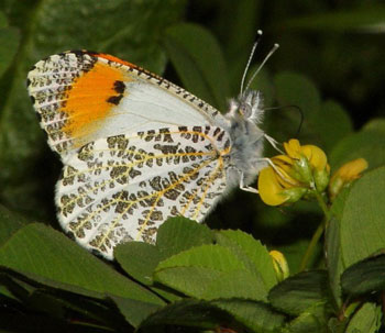 Sara Orange tip butterfly