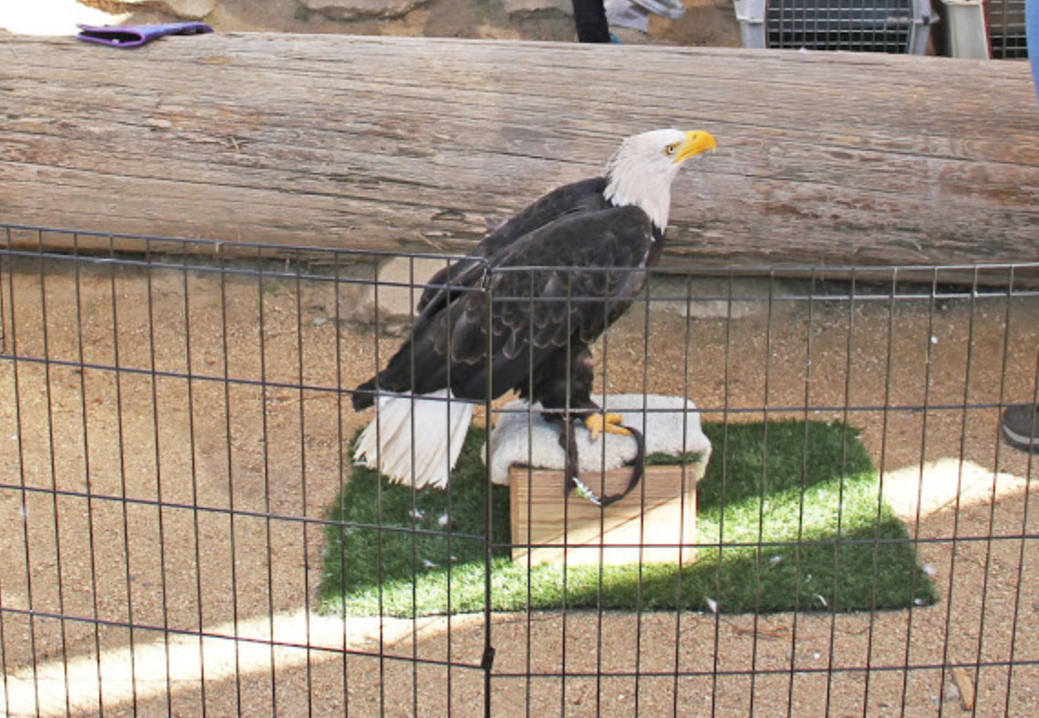 Celebrate Earth Day bald eagle