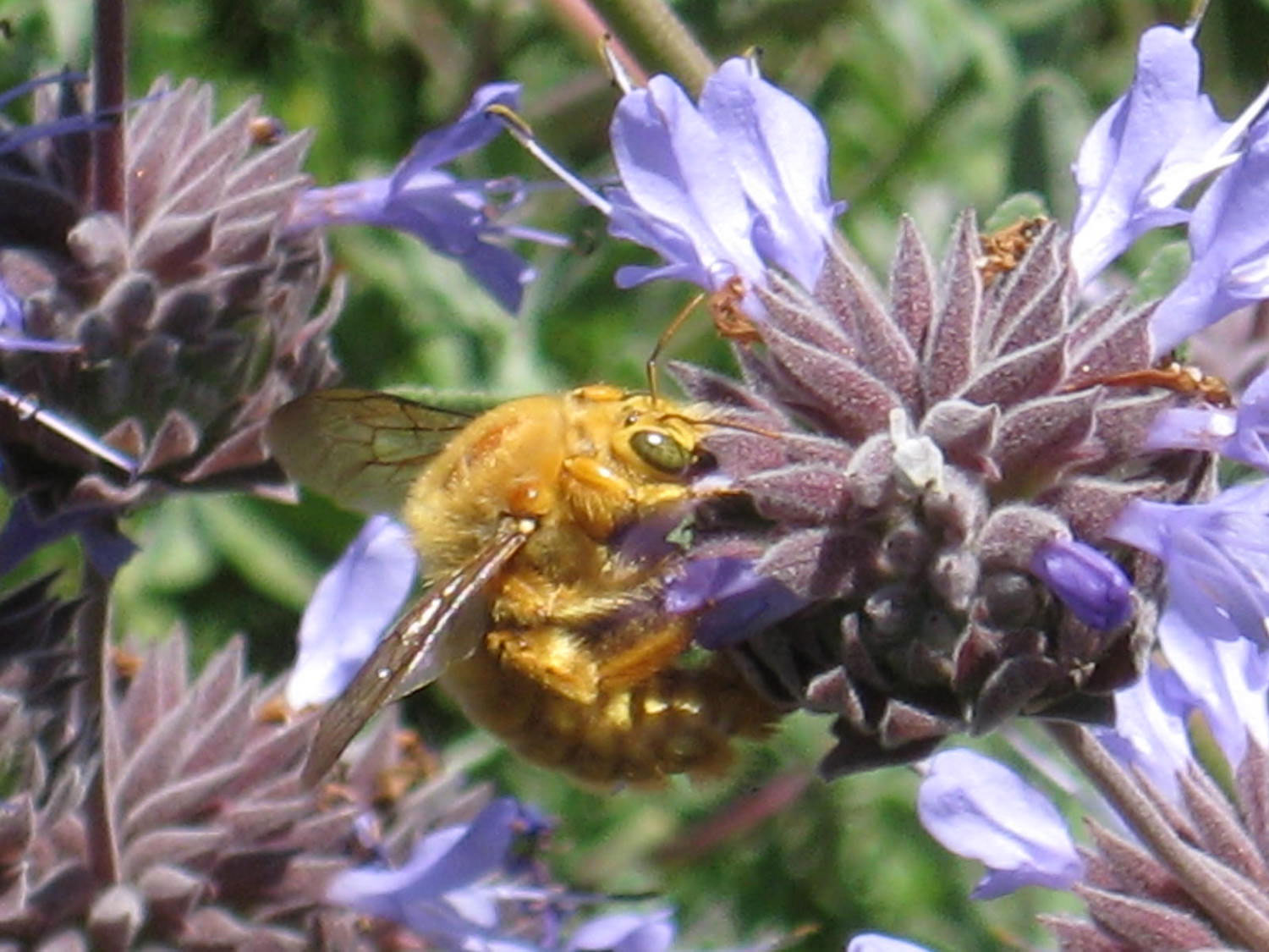 ENC to present carpenter bee