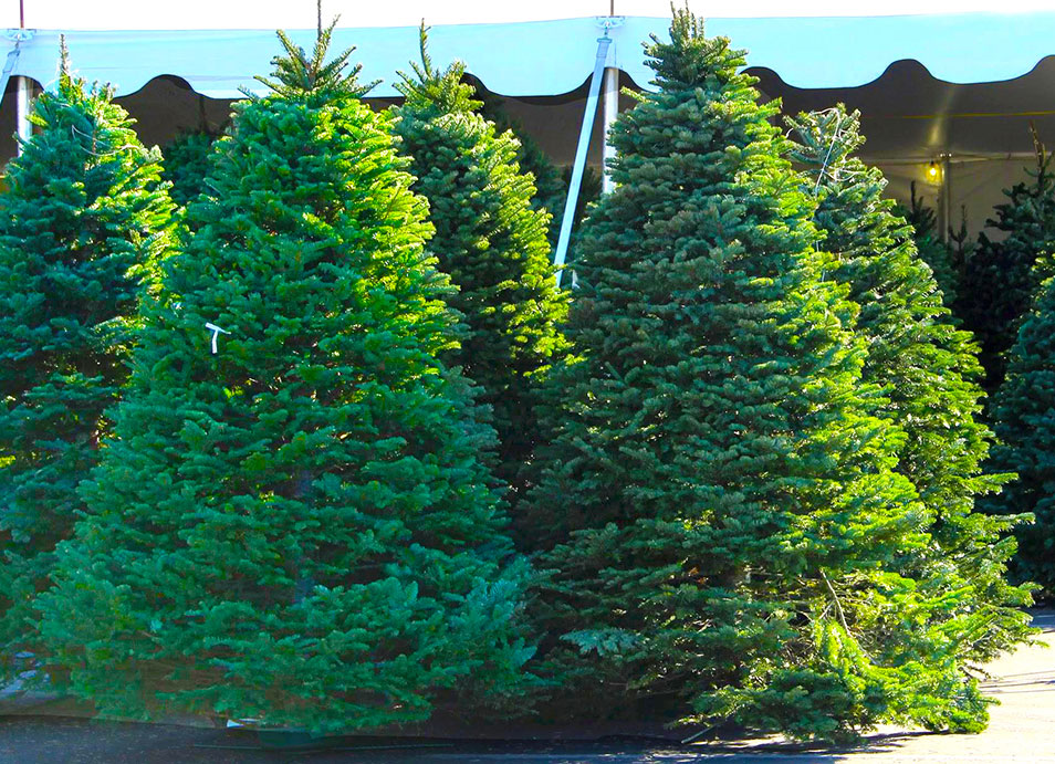 Celebrate Christmas Tree Lot firs