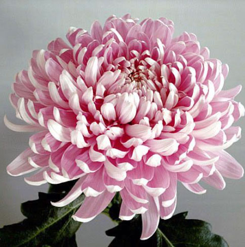 H&G Chrysanthemum